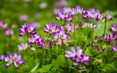 Astragalus: A True, Nourishing Tonic for Your Immune System